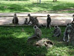 Anuradhapura - singes