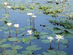 Iris d`eau