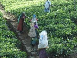Nuw. Eliya - cueilleuses de thé