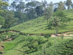 Nuw. Eliya - plantation de thé