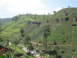 Nuw. Eliya - plantation de thé 2