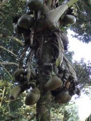 Peradeniya - coco fesse