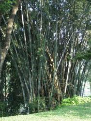 Peradeniya - bambous géants