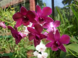Peradeniya - orchidée 1