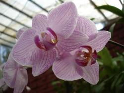 Peradeniya - orchidée 2