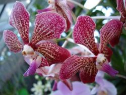 Peradeniya - orchidée 5