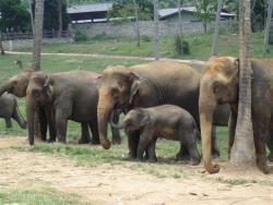 Pinawella - orphelinat des éléphants